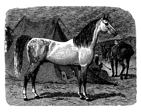racehorse: Vintage style vector hand drawing sketch of a horse Illustration