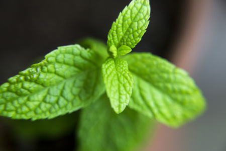 Fresh peppermint sprout, bright green leaves Stock Photo