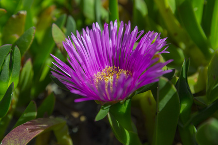 Carpobrotus (commonly known as pigface, ice plant, and Hottentot plant) is a genus of ground-creeping plants with succulent leaves and large daisy-like flowers, also known as a Hottentot Fig-marigold, Giant Pigface, Sea Fig, or Sour Fig