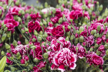 fuchsia color: Carnation flower blossoms close up