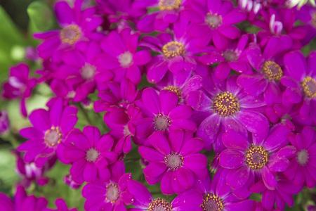 fuchsia color: Fuchsia Daisy Flowers Blooming