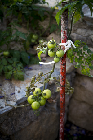 Green organic tomatoes in garden photo