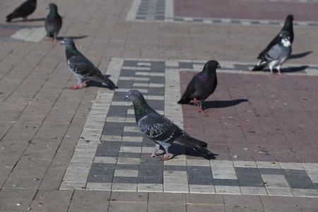 feral: Feral pigeons