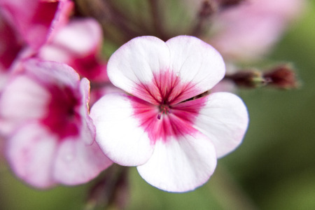 unity small flower: White and pink geranium blossoms