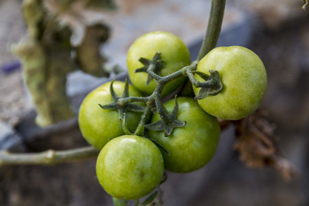 Green tomatoes photo