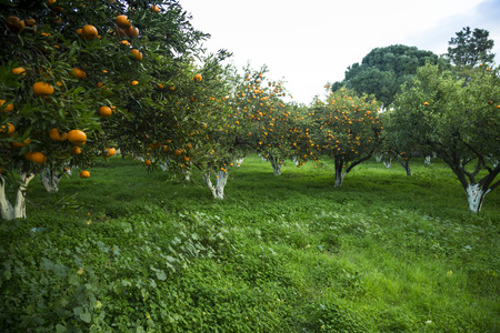 Ripe mandarine orange trees Stock Photo