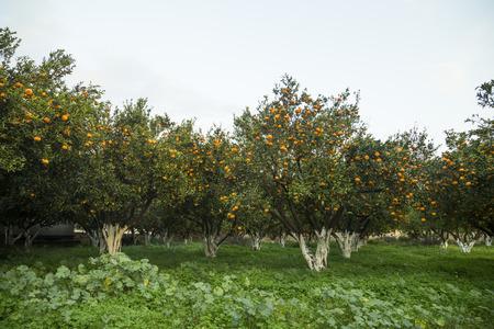 Ripe mandarine orange trees Stock Photo