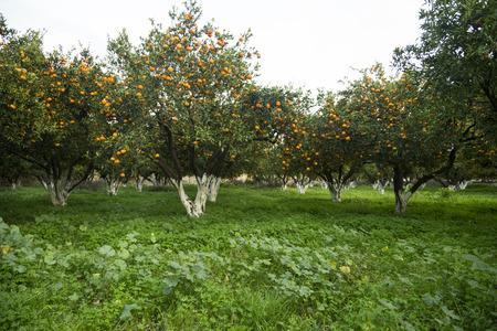 Rijpe mandarijn sinaasappelbomen