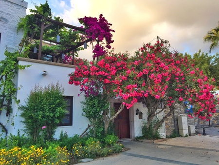 bougainvillea: Bodrum houses with nerium oleander and bougainvilleas blossoming