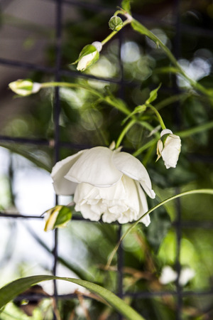 White climbing rose blossoms photo