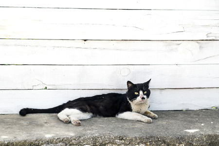 calico whiskers: Black and white street cat resting