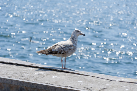 wingspread: Seagull standing by the seaside Stock Photo