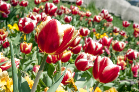 Beautiful tulips flowerbed Stock Photo