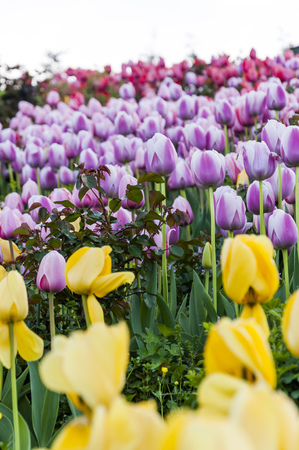 Purple, pink and yellow tulips