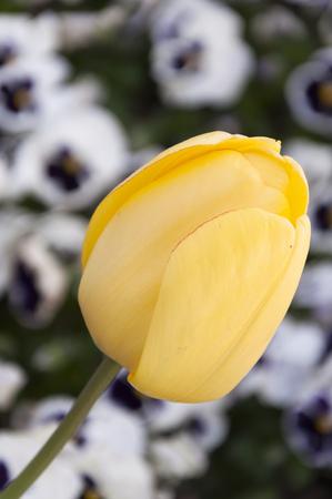 Yellow tulip close up