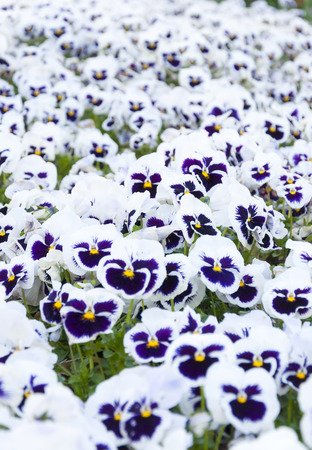 cultivating: White violet flowerbed Stock Photo