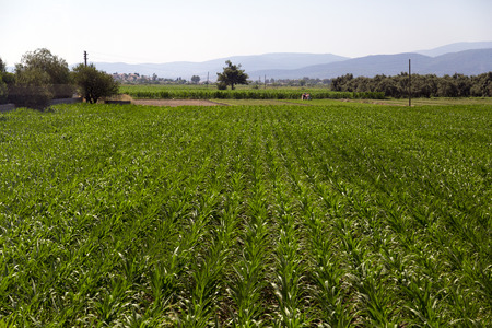 Rows of vegetables in a cultivated field