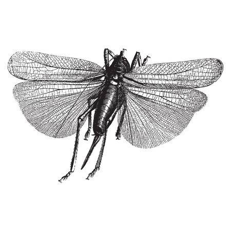 Winged insect animal engravingsolated on white