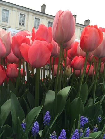 up: Turkish tulips blossoming in the springtime