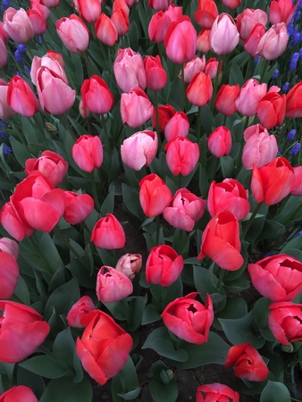 color: Turkish tulips blossoming in the springtime