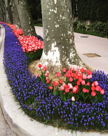 close: Turkish tulips blossoming in the springtime