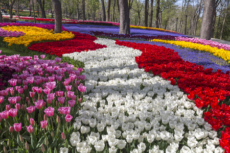 Beautiful tulipanes, flores frescas de primavera, macizo de flores