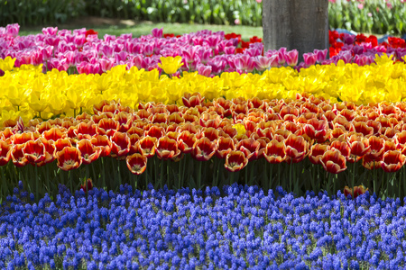Mooie tulpen, frisse lente bloemen, bloembed Stockfoto