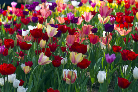 up view: Beautiful tulips, fresh spring flowers, flowerbed