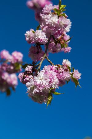 fleur de cerisier: Blossoming sakura ou cerisier japonais, fleur brindille contre le ciel bleu Banque d'images