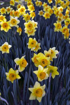 daffodils: Yellow daffodils