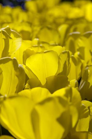 bulb tulip: Beautiful tulips, fresh spring flowers, flowerbed