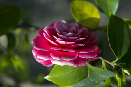camellia japonica: Blossoms of pink camellia, Camellia Japonica, double flowered camellia Stock Photo