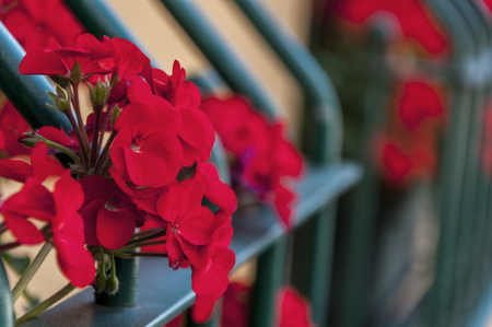 submersion: Beautiful red geranium blossoms by the window
