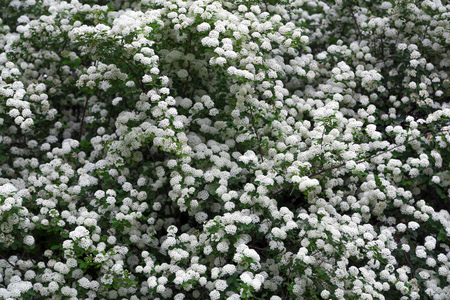 White flowered bush texture background stock photo picture and stock photo white flowered bush texture background mightylinksfo