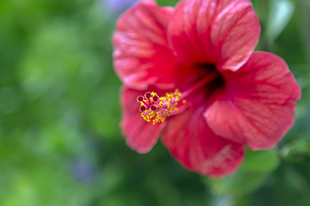 rosemallow: Beautiful coral red colored hibiscus blossom close up Stock Photo