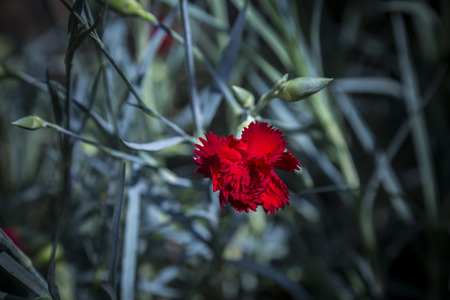 red  carnation: Red carnation blossom