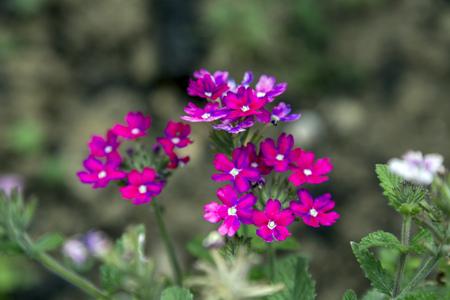 magenta: Little magenta wild flower blossoms