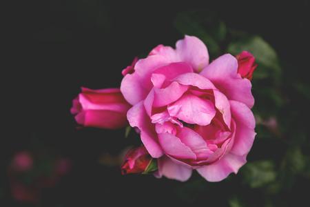 flores fucsia: Hermosas flores aumentó cerca