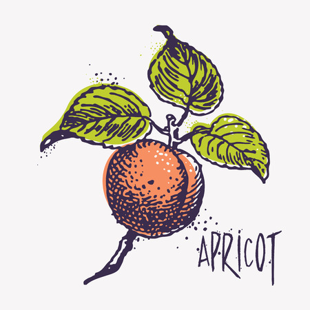 ecologic: Vector engraving apricot fruit on branch with inky splashes and cool retro colors, organic food, ecologic agriculture concept.