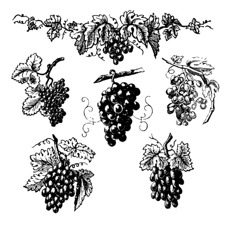 clusters: Set of clusters of grapes, vintage engraved illustrations