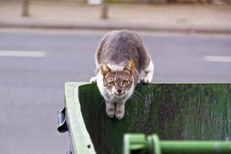 Homeless cat seeking food in a garbage bin, looking at the camera