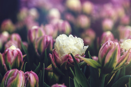 Beautiful tulips close up, fresh spring flowers, vintage faded effect