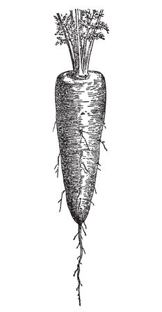 Vintage engraving style vector illustration of carrot
