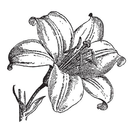 Vintage engraving style vector illustration of a lily flower blossom Çizim