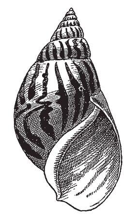 Vintage engraving style vector illustration set of shelled marine creatures, gastropods Çizim