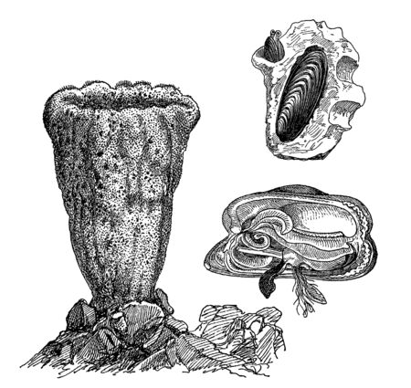 Vintage engraving style vector illustration set of shelled marine creatures, oysters and sponges