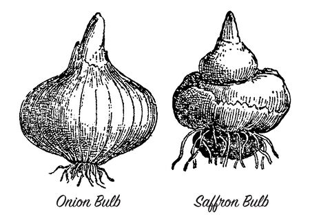 Vintage engraving style vector illustration of onion and saffron root bulbs