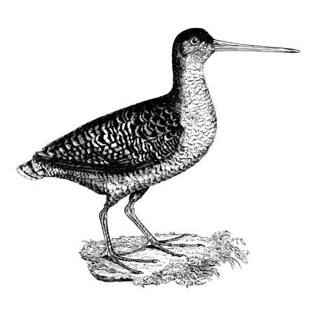 Vintage engraving style vector illustration of a water bird