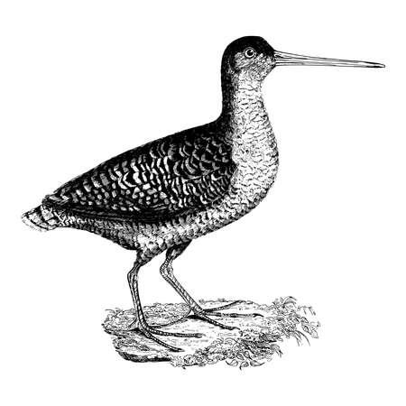 Vintage engraving style vector illustration of a water bird Иллюстрация
