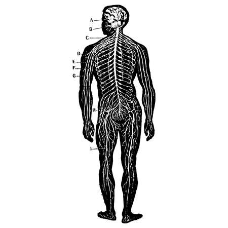 Vintage engraving style vector illustration of a male body medical graphic